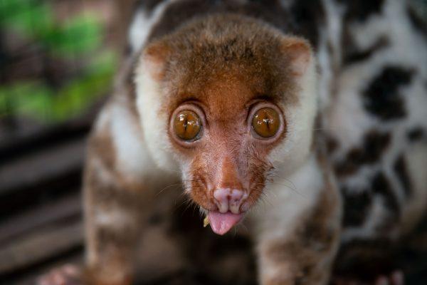 agusta cuscus